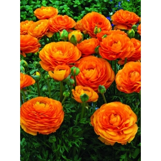 Jaskier pomarańczowy - duża paczka! - 100 szt.
