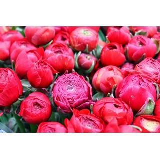 Jaskier różowy - duża paczka! - 100 szt.