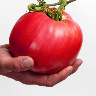 Pomidor Malinowy Olbrzym