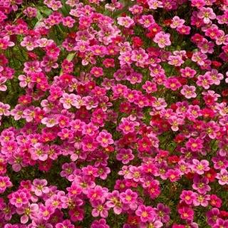 Skalnica - kolorowy dywan w ogrodzie!