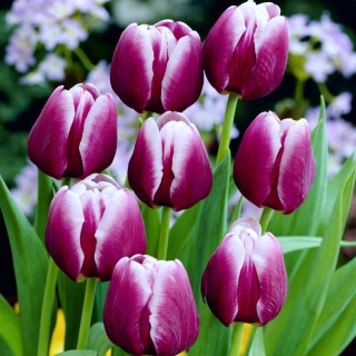 Tulipan Arabian Mystery - opak. 5 szt.