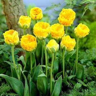 Tulipan lodowy - Beauty of Apeldorn - 5 szt.