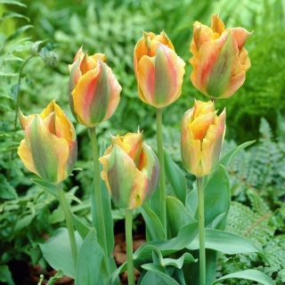 Tulipan Golden Artist - opak. 5 szt.