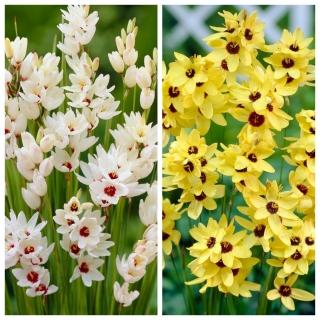 Ixia - Iksja - zestaw 2 odmian w kolorze białym i żółtym - 100 szt.