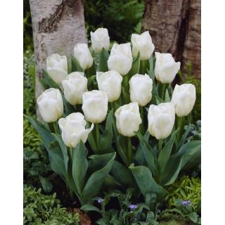 Tulipan niski biały - Greigii white - 5 szt.