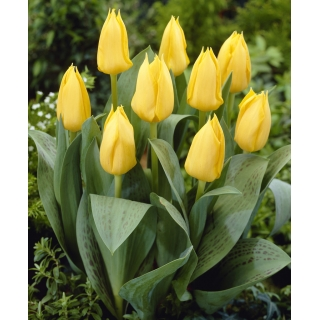 Tulipan niski żółty - Greigii yellow - 5 szt.