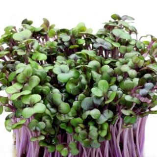 BIO Nasiona na kiełki - Kapusta czerwona - Certyfikowane nasiona ekologiczne