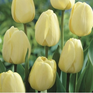 Tulipan Ivory Floradale opak. 5 szt.