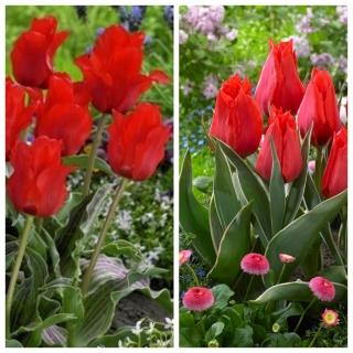 Red Deluxe - zestaw 2 odmian tulipanów - 60 szt.
