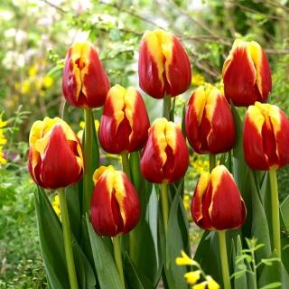 Tulipan Denmark - opak. 5 szt.