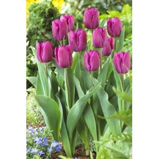 Tulipan Purple Prince - opak. 5 szt.