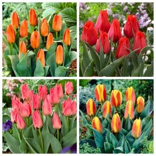 Tulipany Greiga - zestaw 4 odmian - 40 szt.
