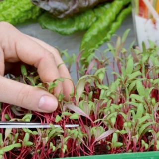 Microgreens - Burak liściowy - młode listki o unikalnym smaku