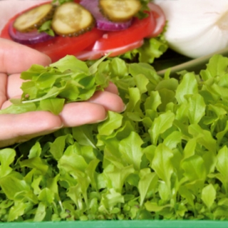 Microgreens - Sałata zielona - młode listki o unikalnym smaku