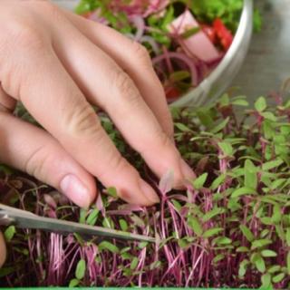 Microgreens - Szarłat czerwony - młode listki o unikalnym smaku