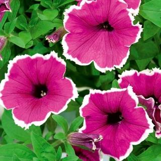 Petunia ogrodowa Iluzja - różowa