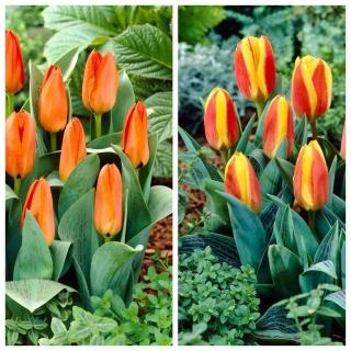 Cammello - zestaw 2 odmian tulipanów - 40 szt.
