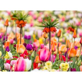 Zestaw - korona cesarska pomarańczowa i tulipan mieszanka - 18 szt.