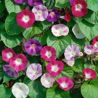 Domowy ogródek - Wilec Early Call - do uprawy w domu i na balkonie