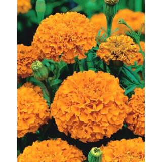 Aksamitka wzniesiona pomarańczowa