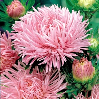 Aster igiełkowy - różowy