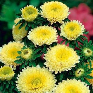 Aster pomponowy - żółty