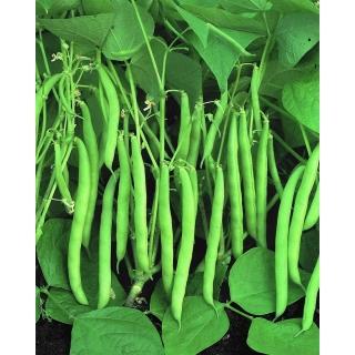 Fasola Processor - szparagowa, średnio wczesna, zielonostrąkowa