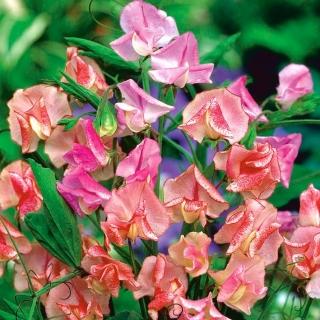 Groszek pachnący o kwiatach pstrych
