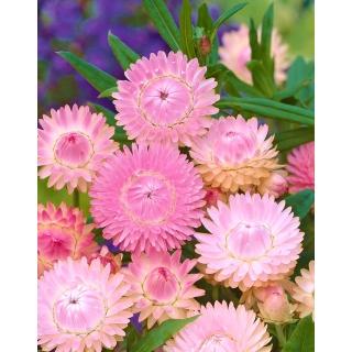 Kocanka ogrodowa, Nieśmiertelnik różowa