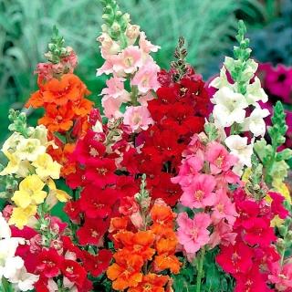 Lwia paszcza o kwiatach trąbkowych Trumpet Serenade