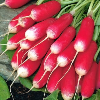 BIO Rzodkiewka French Breakfast 3 - Certyfikowane nasiona ekologiczne