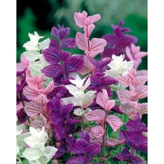 Szałwia trójbarwna - mieszanka kolorów