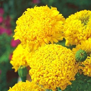Aksamitka Fantastic - wzniesiona, żółta