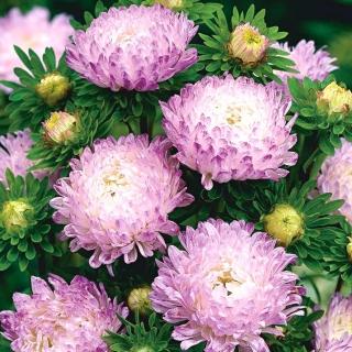 Aster peoniowy - biało-różowy
