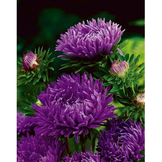 Aster peoniowy - fioletowy