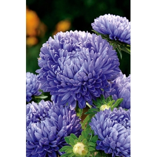Aster peoniowy - niebieski
