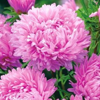 Aster peoniowy - różowy