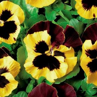 Bratek wielkokwiatowy - żółto-brązowy Red Wings, Roter Flugel