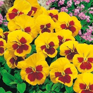 Bratek wielkokwiatowy - żółto-czerwony Yellow Red Eye