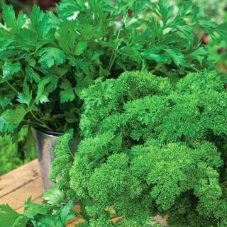 Domowy ogródek - Pietruszka naciowa - mieszanka odmian do uprawy w domu i na balkonie