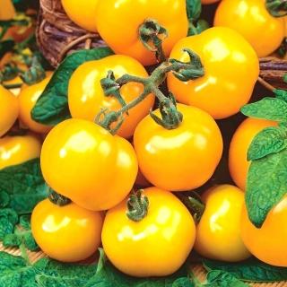 Pomidor Ola Polka - gruntowy
