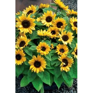 Domowy ogródek - Słonecznik ozdobny - Baver - do uprawy w domu i na balkonie