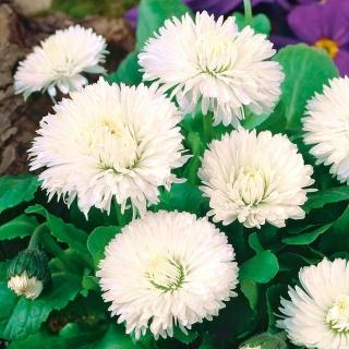 Stokrotka wielkokwiatowa Ave - biała