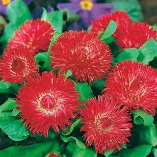 Stokrotka wielkokwiatowa Gracja - czerwona