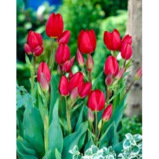 Tulipan Red Georgette - opak. 5 szt.