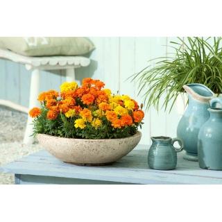 Domowy ogródek - Aksamitka rozpierzchła Bonanza Series - do uprawy w domu i na balkonie