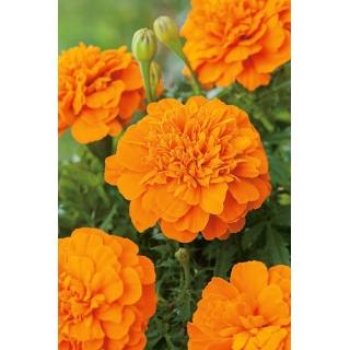 Aksamitka Mandarin - rozpierzchła, pomarańczowa