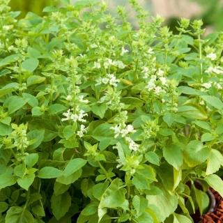 Bazylia Floral Spires - przyprawowa i ozdobna