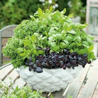 Domowy ogródek - Bazylia - mieszanka odmian do uprawy w domu i na balkonie