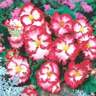 Begonia - Marginata White - biało-czerwona - 2 szt.